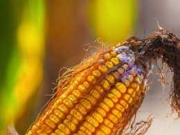 玉米收穫後遭遇連續下雨,如何儲存?老農教你2個技巧3點注意事項