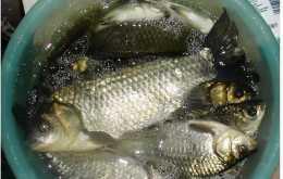 春天吃鯽魚,是野生鯽魚還是養殖鯽魚?就看這3處,知道別再買錯