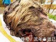 4萬年前滅絕一種狼,俄羅斯科學家將讓它復活!接下來發生什麼?