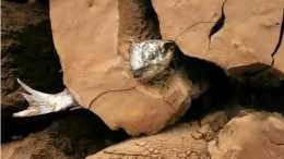 非洲肺魚的悲慘命運:戰勝了缺水和飢餓,不吃不喝也能活5年,卻被人們封印在牆壁中