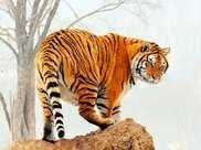 將十隻野生東北虎放入非洲草原,它們能否繼續稱霸?答案讓人意外