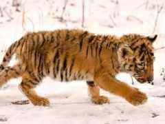 國外女子放生老虎,5年後人虎再次偶然相遇,老虎朝著她撲了過去