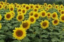 """如何將花境植物營造出一種""""雖由人作,宛自天開""""氛圍"""